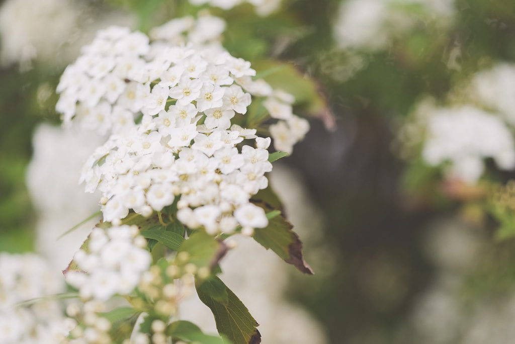 Small white flowers on a tree