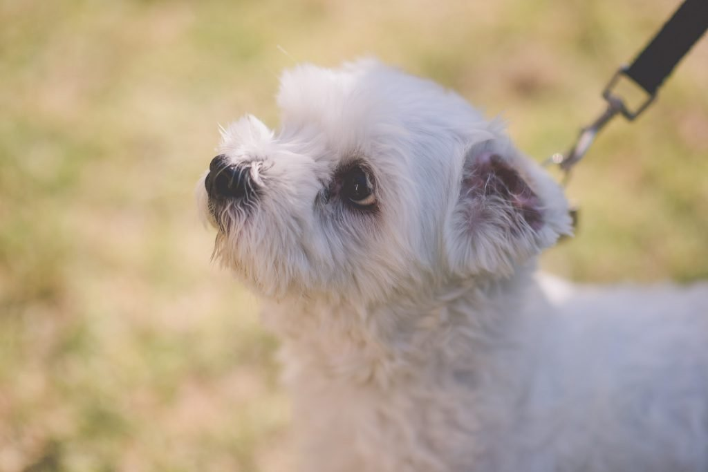 Melbourne wedding photography of a little white dog